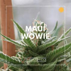 Maui Wowie (Maui Waui), Photo credits: Double Dutch Farms