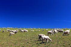Sheeps by Itay Gal on New Zealand, Sheep, Goats, Animals, Animales, Animaux, Animal, Animais, Goat