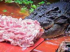 Cassius the crocodile. 110 years old