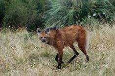 The Maned Wolf faces the threat of becoming endangered. So, scientists in the US are becoming matchmakers to these creatures to help keep the species alive! Interesting Animals, Unusual Animals, Animals Beautiful, Coyotes, Wolf Population, Bat Eared Fox, Maned Wolf, Houston Zoo, Wolf Face