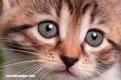 La Nota Curiosa: ¿Cómo se produce el ronroneo de los gatos? - culturizando.com | Alimenta tu Mente