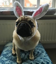 We just had the best fun!! Mummy's friend came round after school and it's the last time she'll be here before Easter so nana let me dress up and do a mini egg hunt for them!!  pretending to be the Easter Bunny was fun  #purepugspp #pug #pugs #pugsofinstagram #pugbasement #pugsproud_feature #badasspugclub #bubblebeccahat #cupcake_pug #dailydoseofpugs #eddthepug #flatnosedogsociety #gilesfriends #heyportiapickme #henrys1inamillion #itslolathepug #lolasfotw #lacyandpaws…