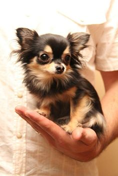 A pretty haired chihuahua named katlyn after my very very best friend who moved