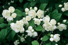 Double Mock Orange. They smells so yummy when they're in bloom!!!