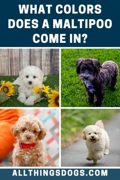 The Maltese dog can only be white (their breed standard demands it), but the Poodle comes in many different colors. As a result, there are a variety of Maltipoo colors, from black or white to blue or red. Read on to learn more about their coat.  #maltipoocolors #maltesepoodlemix #maltipoo Maltipoo Dog, Maltese Poodle Mix, Maltese Dogs, Black Dogs, White Dogs, Puppy Facts, Dexter, Cuddling