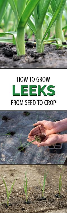 All gardeners and vegetable fanatics should learn how to grow leeks. These fantastic vegetables are super-hardy and can provide an ongoing crop for months on end. The only problem is they're not the easiest of crops to grow. This guide, however, shows you exactly what you need to do to grow leeks the right way.