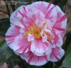 Camellia japonica 'Hikarugenji' AKA 'Herme' AKA 'Jordan's Pride' (Japan, 1859)
