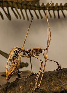 Dimorphodon mount.jpg