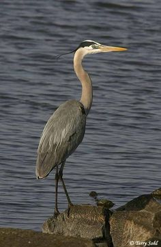 Great Blue Heron (Ardea herodias) is a large wading bird in the heron family, common near the shores of open water and in wetlands over most of North America and Central America as well as the Caribbean and the Galapagos Islands.