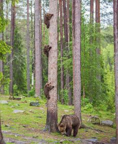 bear cubs up a tree
