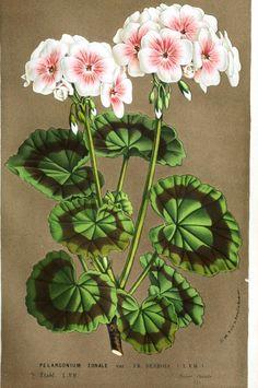 Botanical - Flore des Seres et Des Jardins de L'Europe - Pelargonium