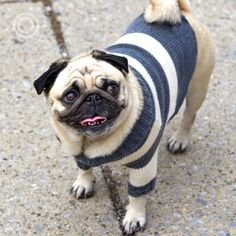 """OTELLO. The Dog Pullover """"When I give, I give myself."""" (Walt Whitman)  #happytot Pug Mops, Walt Whitman, Dog Sweaters, Pugs, French Bulldog, Give It To Me, Street Style, Animals, Heroes"""