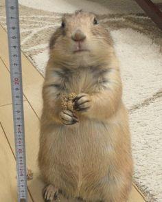 くんた。身長測定リベンジ。 くんちゃーん!いい姿勢えら〜い #prairiedog #プレーリードッグ