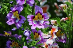 Schizanthus Seeds Mix Color Schizanthus Pinnatus  by Greenworld1