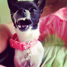 Angry Sofia, chihuahua. The Buttons. http://the-buttons.tumblr.com