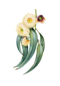 Australia's emblematic beauties illustrated - Australian Geographic
