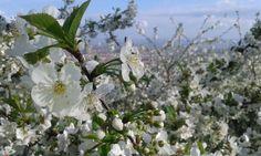 Cherry flowers !  S P R I N G ! ! !
