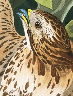 John James Audubon's Birds of America Audubon Prints, Audubon Birds, Bird People, Birds Of America, John James Audubon, Watercolor Bird, Botanical Illustration, Bird Art, Spirit Animal