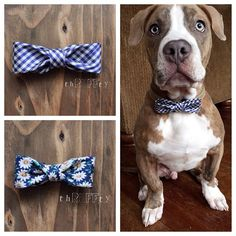 Enlisted the help of our favorite #pitbull this morning. He's modeling the adorable silk #gingham #bowtie. Apparently, when dogs wear #bowties, they turn into complete #gentlemen- because 3 minutes before this he was running around like a maniac. shop link in bio#dogsofinstagram #dapperdog #cute #thrufftypup #bullylove #pibble #happymonday #etsy