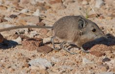Adorable New Mammal Discovered By California Academy Of Sciences Staff: Macroscelides micus, discovered in a remote part of Namibia, is actually more closely related to the elephant than it is to a mouse. #Animals #Mammal #Macroscleides_micus