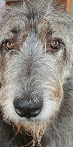 Maggie wanting my dinner.Tap the link to check out great cat products we have for your little feline friend! Big Dogs, I Love Dogs, Cute Dogs, Dogs And Puppies, Doggies, Blue Whippet, Irish Wolfhound Dogs, Scottish Deerhound, Cat Products