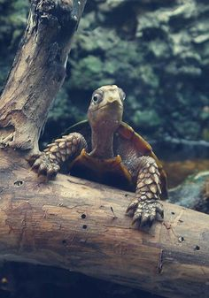 Your big tortoise is a source of pleasure to you. You bought the turtle so you can have more fun with family members and friends. But you need to take care Land Turtles, Cute Turtles, Sea Turtles, Animals And Pets, Baby Animals, Cute Animals, Turtle Time, Tortoise Turtle, Alligators