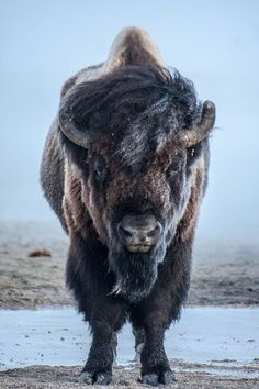 Persevere as well as this Bison and you can weather all things. Such strength!
