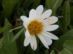 White Wyethia (Also known as Mules Ears) were blooming in Idaho's Sawtooth Mountains near Stanley during early summer days of 2010.  ©Marty Nelson. Photographer web site: http://martynelsonphotoart.wix.com/mn-photo-art