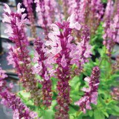 Salvia nemorosa Lyrical Rose from Santa Rosa Gardens - Meadow Sage Meadow Sage, Drift Roses, Drought Tolerant Plants, Garden Club, Salvia, Garden Accessories, Winter Garden, Clematis, Gardening Tips