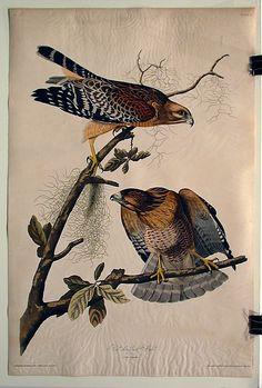 Red Shouldered Hawk (No. 12)  John James Audubon  (American, Haiti (Saint Domingue) 1785–1851 New York City)