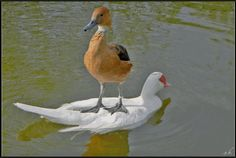 Funny pictures about Bourgeois duck stays afloat. Oh, and cool pics about Bourgeois duck stays afloat. Also, Bourgeois duck stays afloat photos. Funny Animal Jokes, Funny Animals, Cute Animals, Funny Duck, Crazy Animals, It's Funny, Stupid Funny, Funny Humor, Bird Pictures
