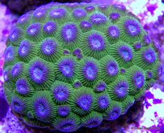 Closed Brain Coral | ... about Live Coral - Exotic Purple Eye Green Diploastrea Closed Brain