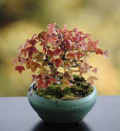 カエデ3 Bonsai Plants, Bonsai Garden, Garden Plants, Indoor Plants, Mame Bonsai, Bonsai Styles, Moss Garden, Miniature Plants, Ikebana