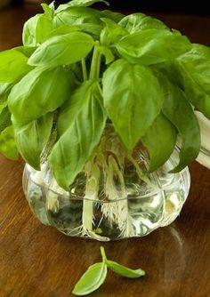 Tudtad, hogy a konyha ablakában nemcsak cserépben nevelhetsz fűszernövényeket? Nem minden növény alkalmas azonban a vízben termesztésre.