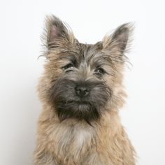Cairn Terrier: one of the oldest of the terrier breeds, originating in the Scottish Highlands and recognized as one of Scotland's earliest working dogs.