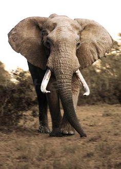 elephant-s.jpg (394×551)