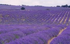 lavender fields of provence... so beautiful