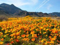 In the desert flowers always follow rain. Mexican Poppies & the Franklin Mountains--- by Rudy Hernandez, El Paso Texas