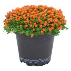 Koralovka priemer kvetináča cca 8cm oranžová