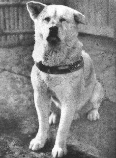 Hachiko, the loyal Akita, who walked his owner to the train station every morning and waited for him every afternoon. When his owner died one day at work Hachiko continued to return to the station every every afternoon at 4 pm waiting for his master's return for the next 10 years until his death.
