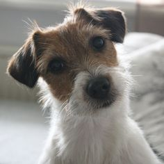 Jack russell #Dogs