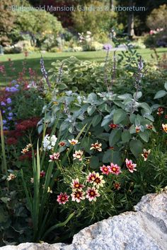 Coreopsis 'Red Shift' and silver spurflower in the North Garden. Plants, Shrubs, Landscape, Flowers, North Garden, Companion Planting, Garden Landscaping, Garden