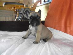 Cuccioli bouledogue-bulldog francese