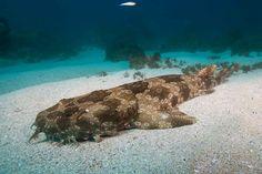 spotted wobbegong shark : Wallpaper Collection