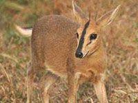 Grey Duiker - Warthog Lodge Animal Species, Nature Reserve, Kangaroo, South Africa, Wildlife, Gallery, Grey, Animals, Baby Bjorn