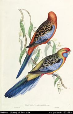 Gould, Elizabeth, 1804-1841.  Platycercus adelaidiae Gould [picture]  [London : s.n., 1848] [London]: C. Hullmandel imp. 1 print : lithograph, hand col.; 49.3 x 32.3 cm.  From National Library of Australia collection  http://nla.gov.au/nla.pic-an11127236  nla.pic-an11127236