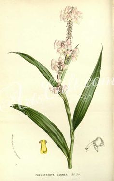 orchids-04354 polystachya carnea  botanical floral botany natural naturalist nature flowers flower beautiful nice flora plants blooming ArtsCult.com Artscult ArtsCult vintage printable public domain 300 dpi commercial use 1800s 1700s 1900s Victorian Edwardian art clipart royalty free digital download picture collection pack paintings scan high qulity illustration old books pages supplies collage wall decoration ornaments Graphic engrav