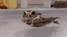 GIF: A este búho le gusta darse un baño