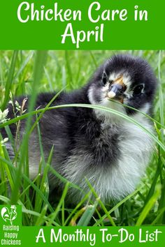 20 must-do tasks in the coop during April to make sure your flock is kept healthy and happy during the month. Herbs For Chickens, Raising Backyard Chickens, Baby Chickens, Keeping Chickens, Chicken Eating, Chicken Feed, Chicken Runs, Chicken Coops, Clipping Chickens Wings