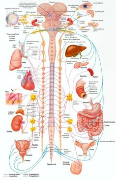 Your spine protects the wiring to all of the organs of your body. Check out what a subluxation of your spine may be affecting. Best Picture For Human Body System interactive notebooks For Your Taste Y Human Body Anatomy, Human Anatomy And Physiology, Muscle Anatomy, Brain Anatomy, Musculoskeletal System, Spine Health, Medical Anatomy, Nursing Notes, Fitness Workouts